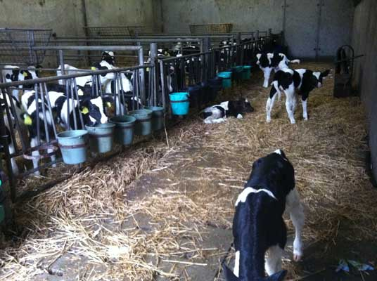 Garrendenny Calves