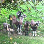 Garrendenny Goat