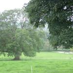 RIP Ash Tree