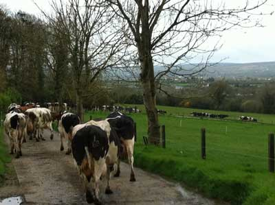 Irish dairy cows