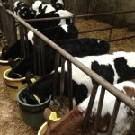 Compact Calving and Calf Feeding