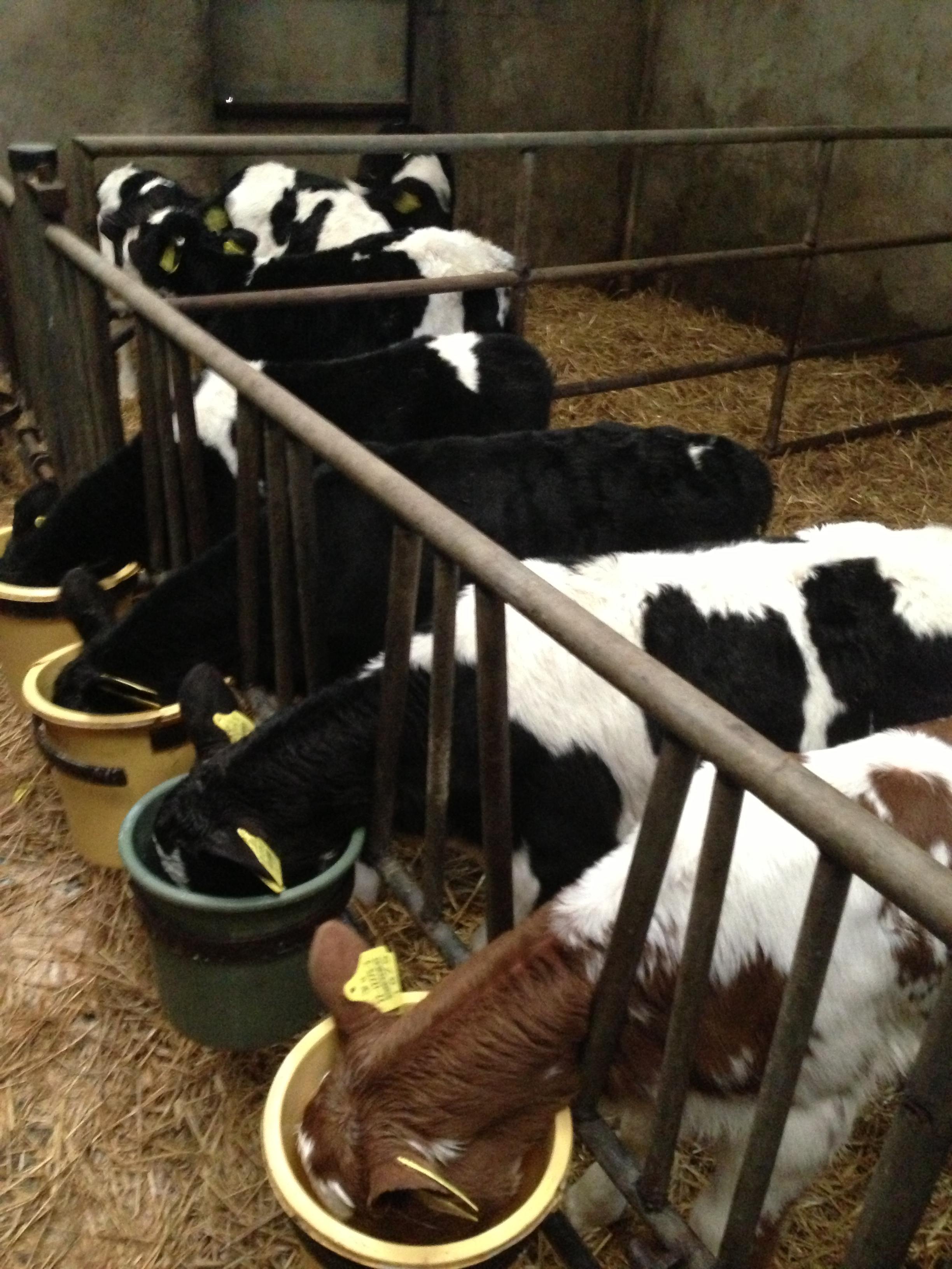 Bucket  Feeding Dairy Calves