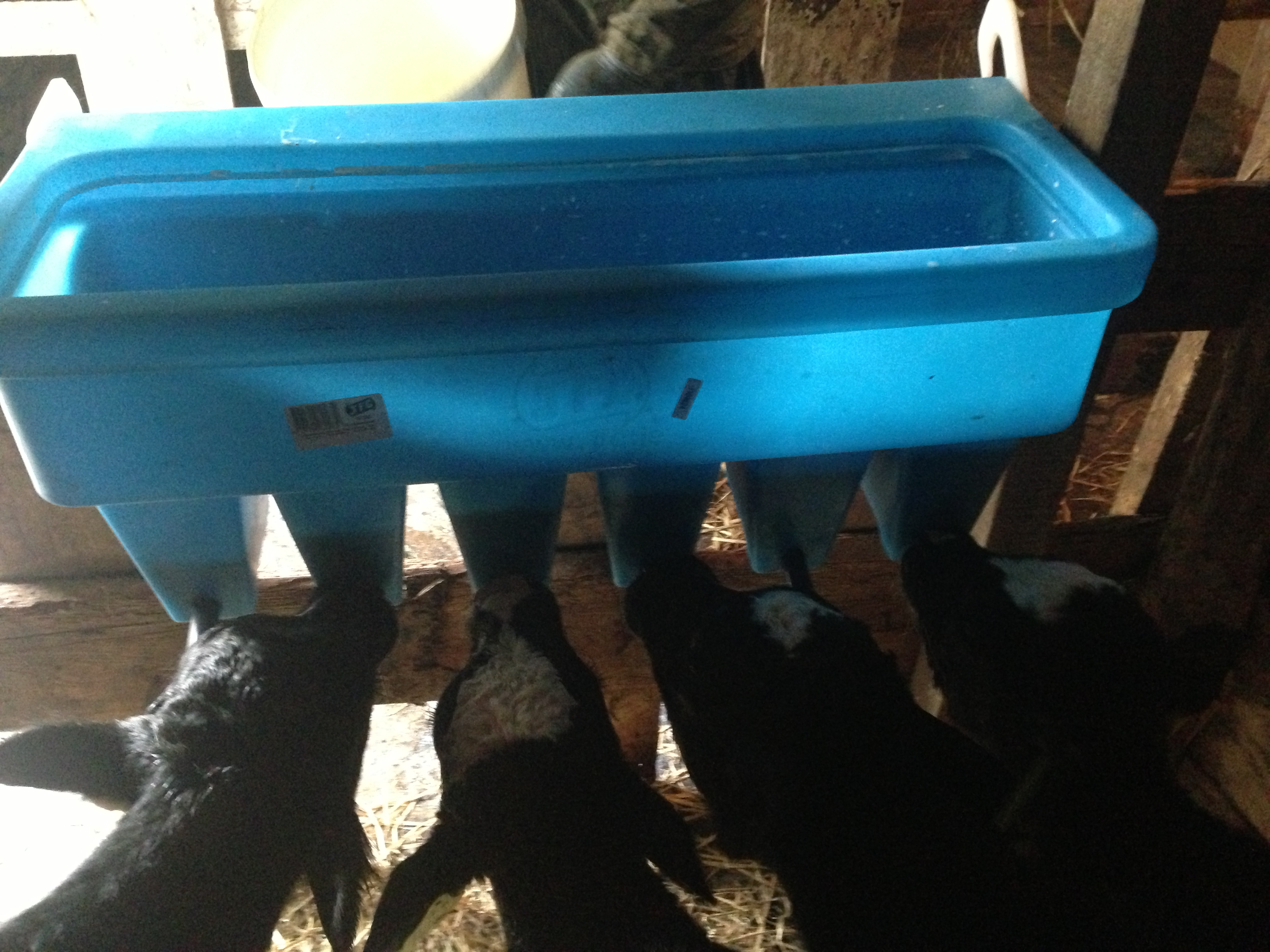 Teat Feeding Dairy Calves