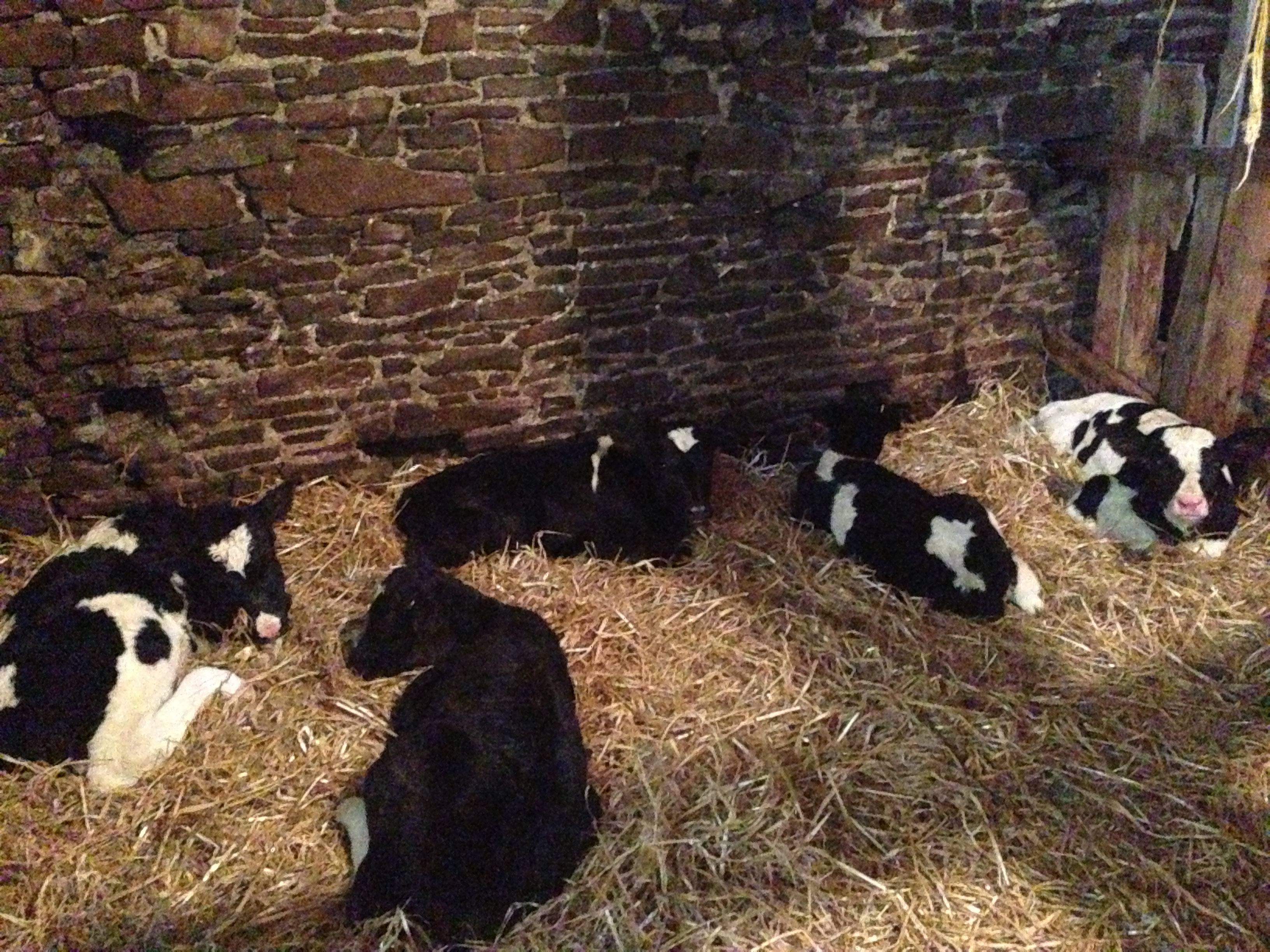 Calves having a nap after being fed