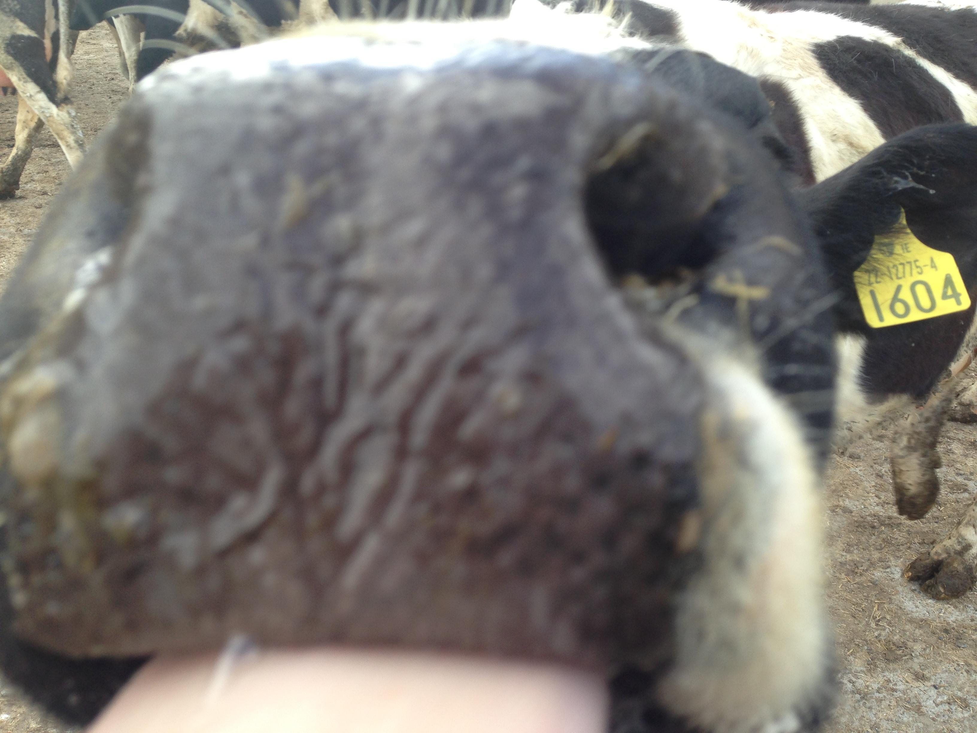 Irish Dairy Cow