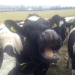 Wordless Wednesday – The Laughing Cow