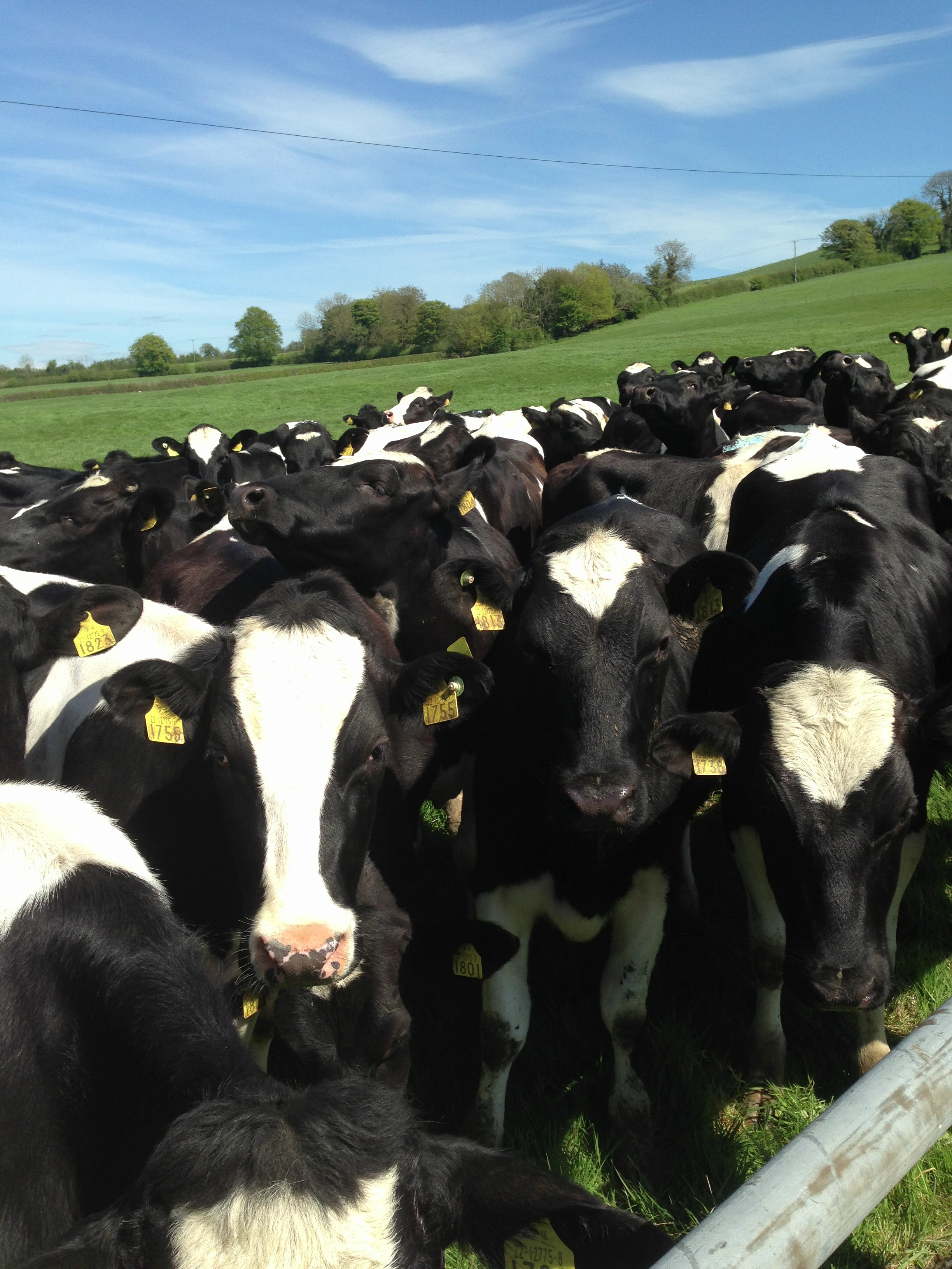 Medley of Yearling Heifers