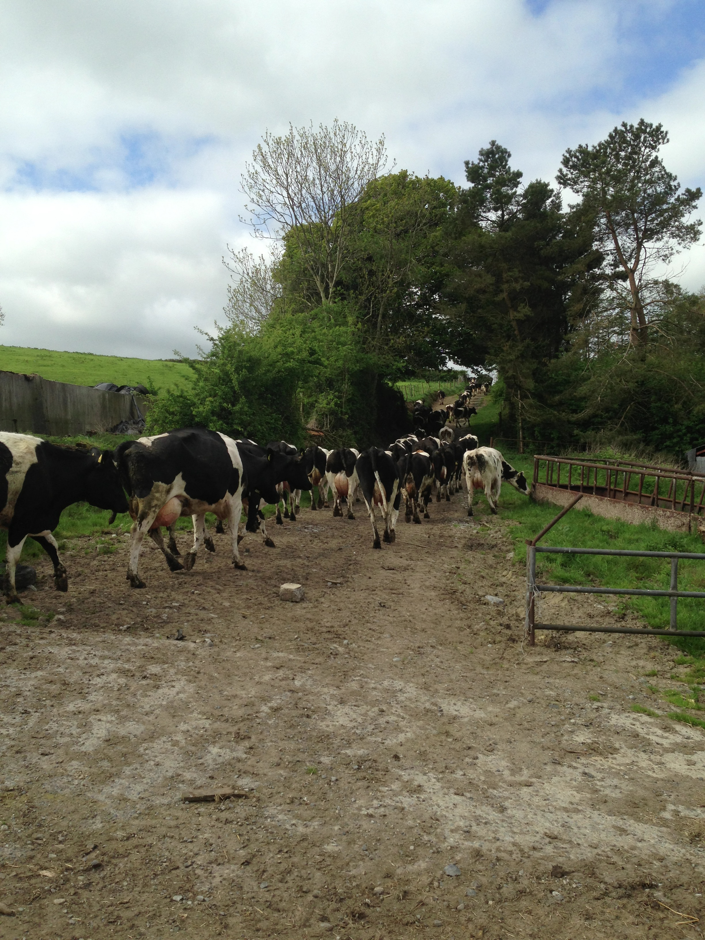 Letting The Cows Out