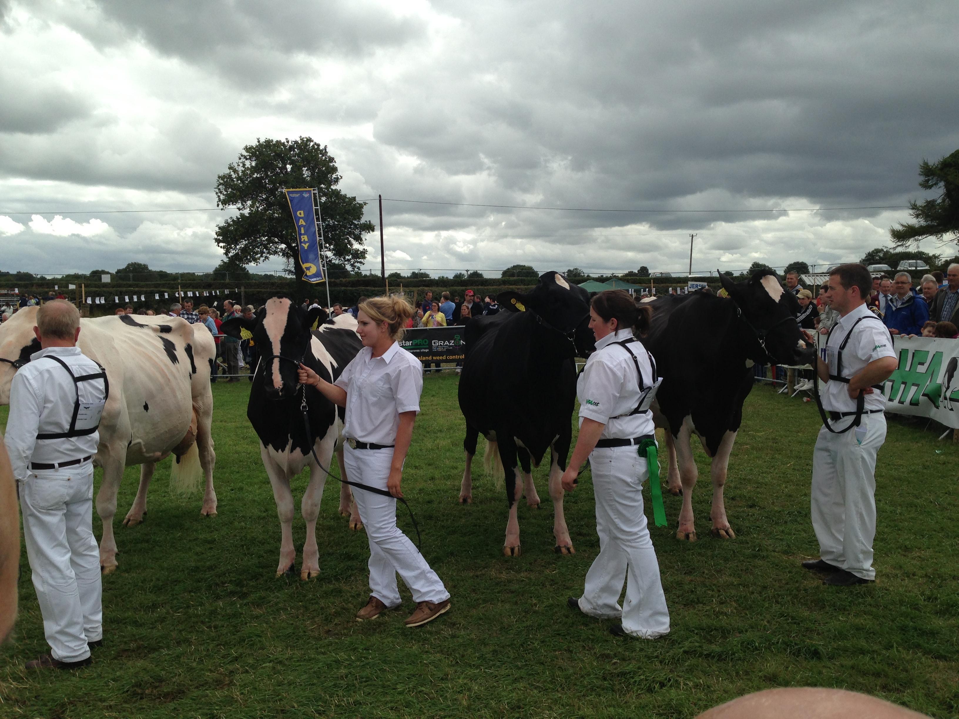 Judging of Holstein Friesiens