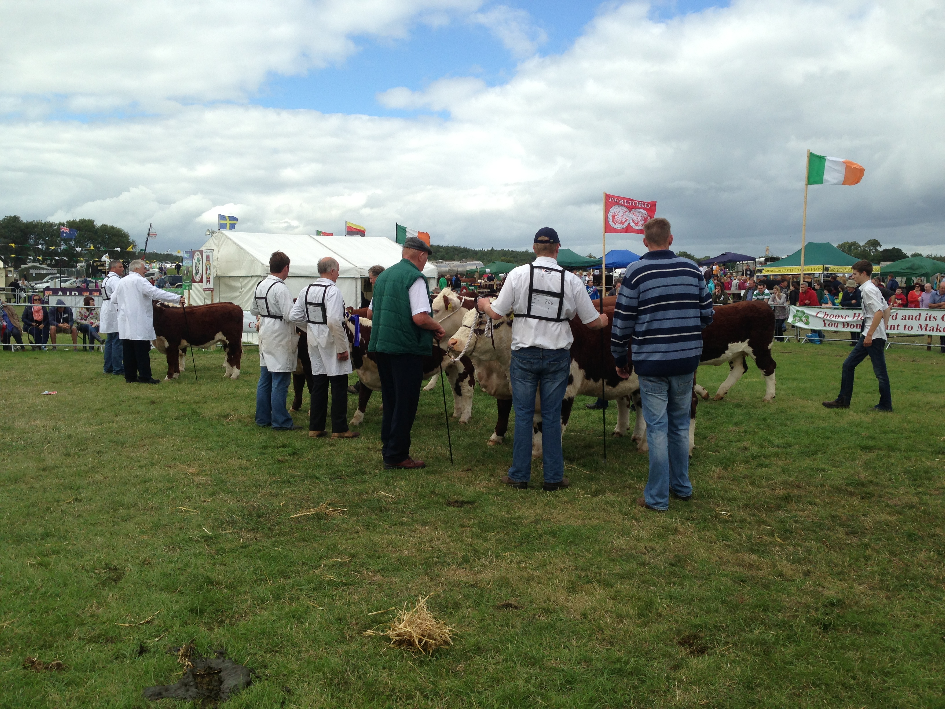 Judging Herefords at Tullamore Show