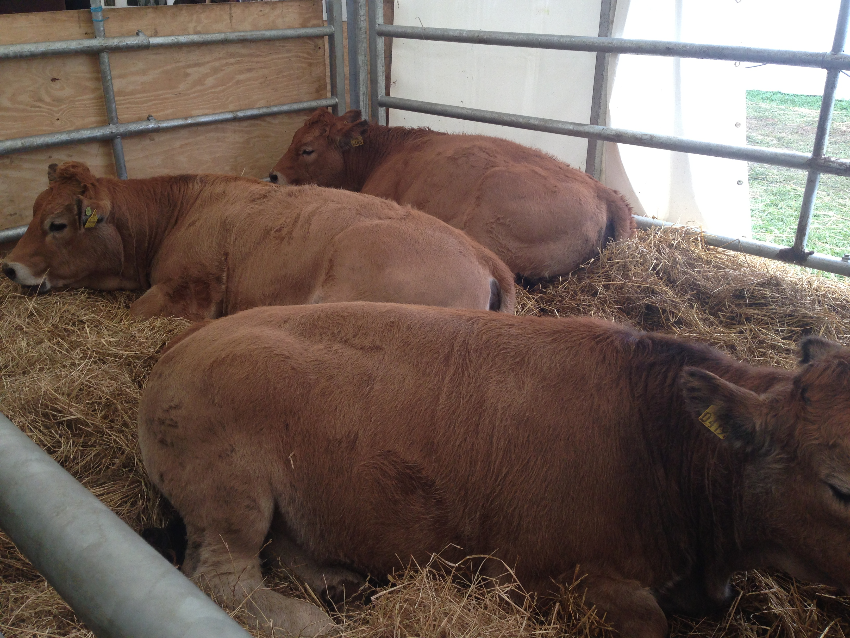 Aubrac at the Ploughing