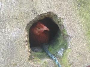 A Peeking Hen
