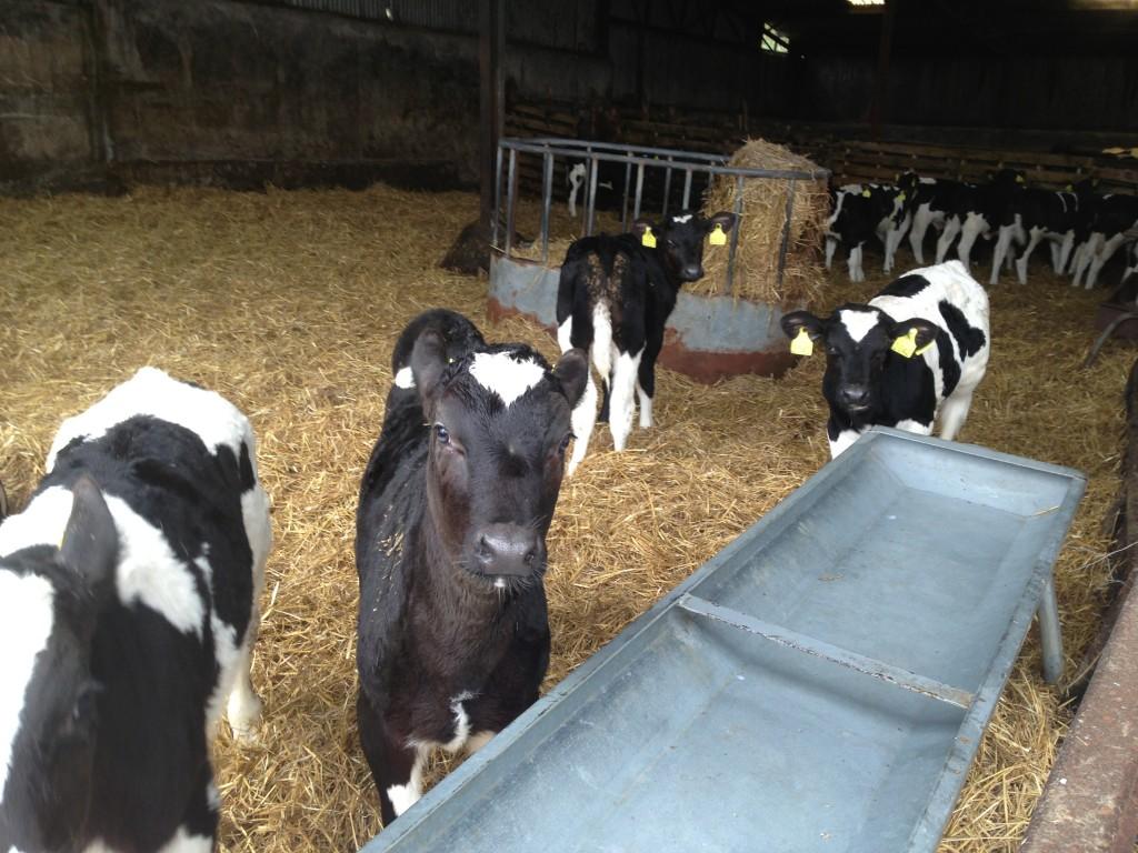 Irish Dairy Calves