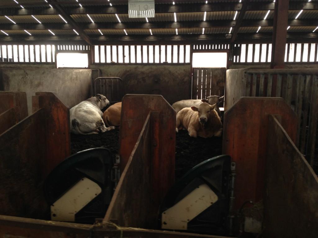 Bulls at Tully, Kildare