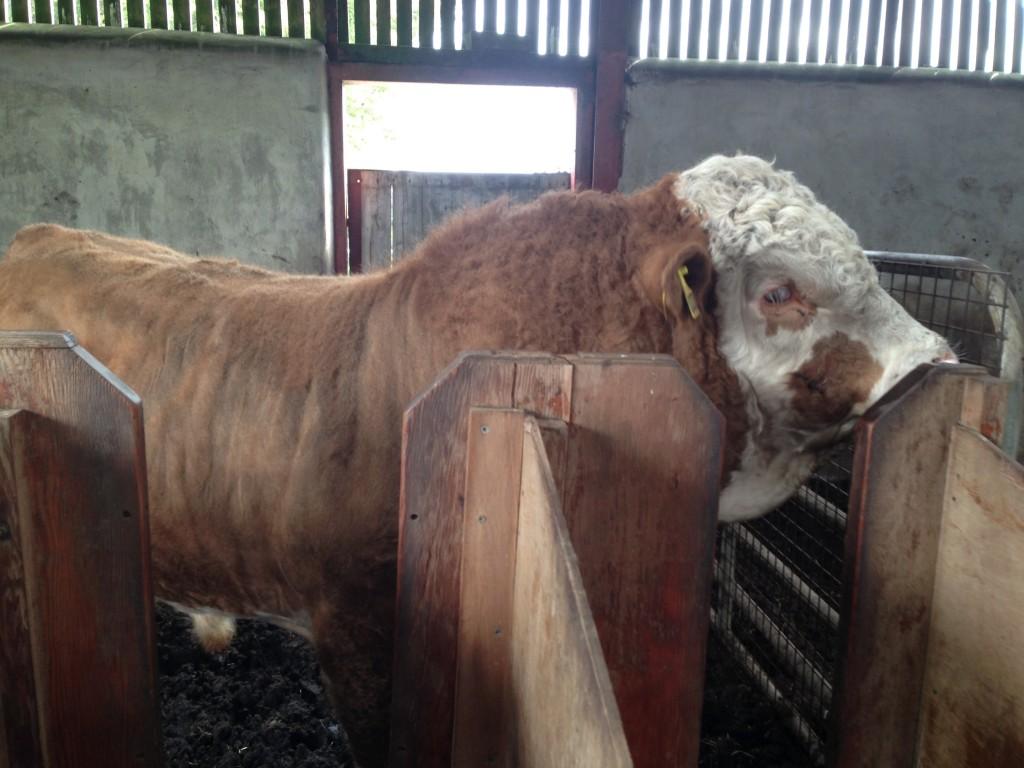 Bull at Tully