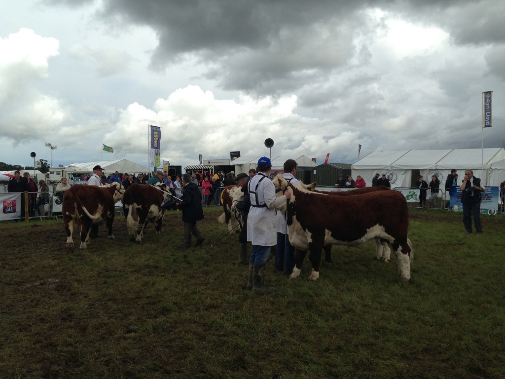 Judging Cattle at Tullamore Show
