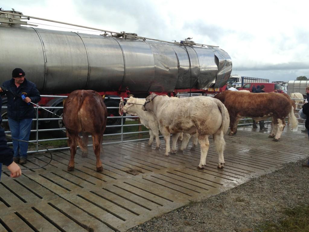 Power hosing cattle at Tullamore Show