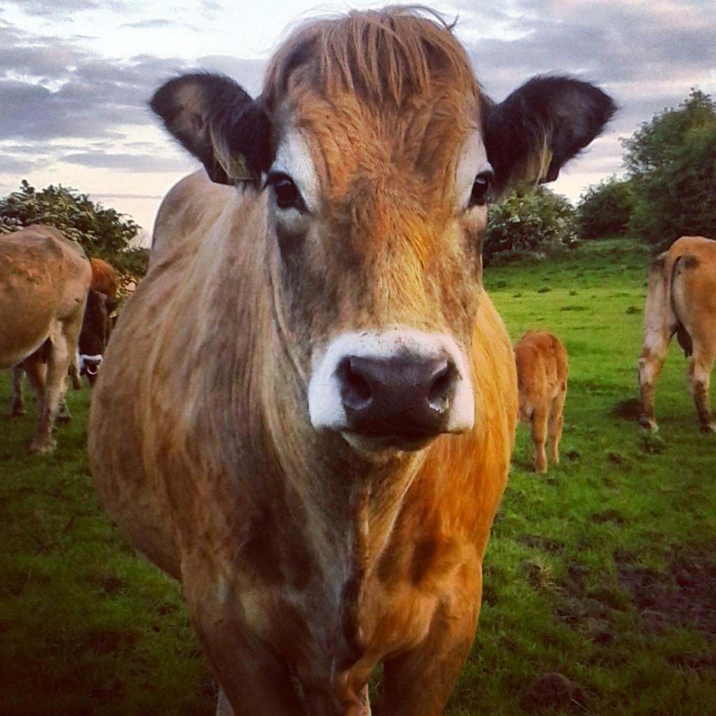 Aubrac Cattle
