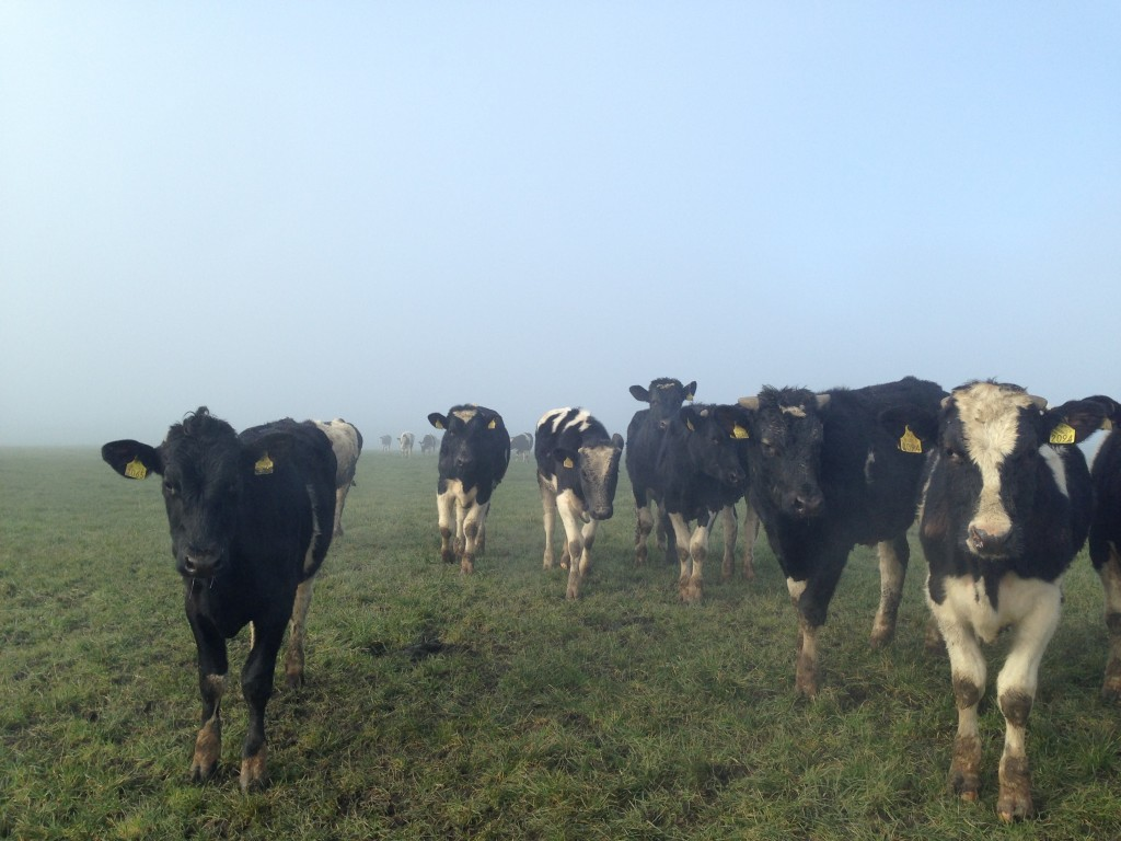 Steers coming out of the Irish mist