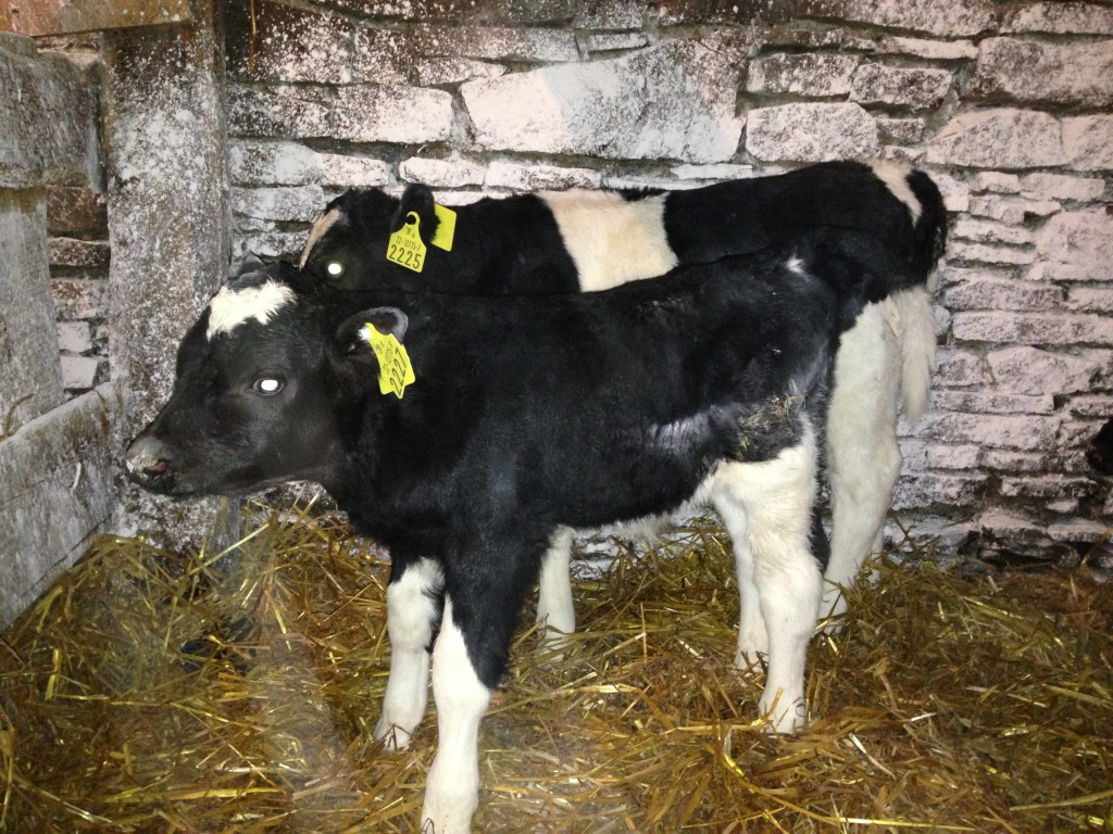 Look at those short legs on the calf in front - both calves born yesterday