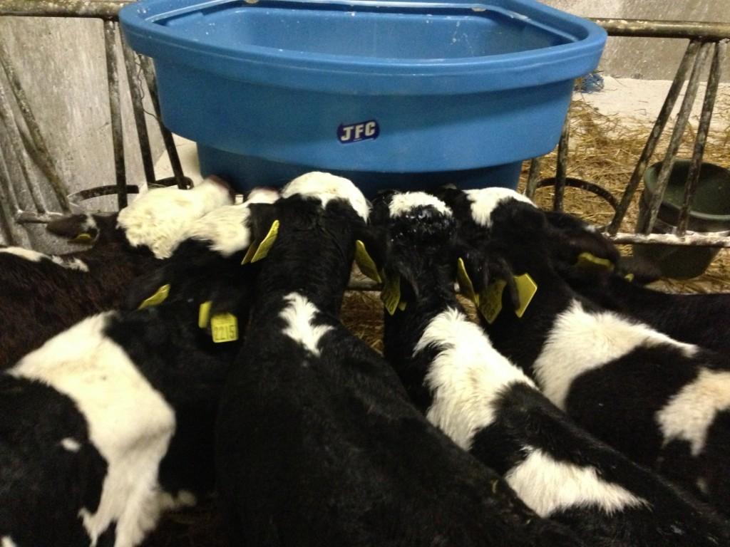 Calves feeding on Teat Feeder