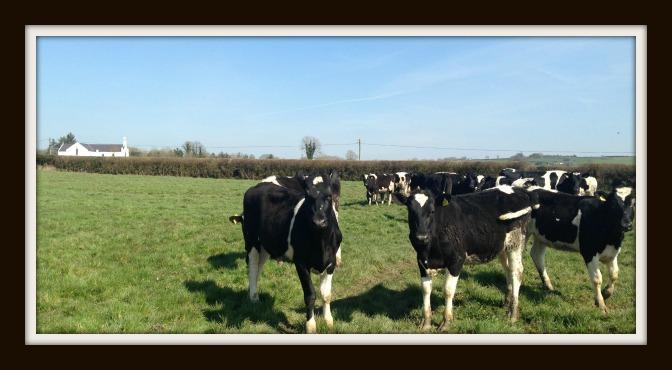 April Maiden Heifers