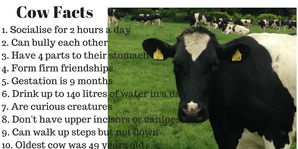 Cow Facts for World Milk Day