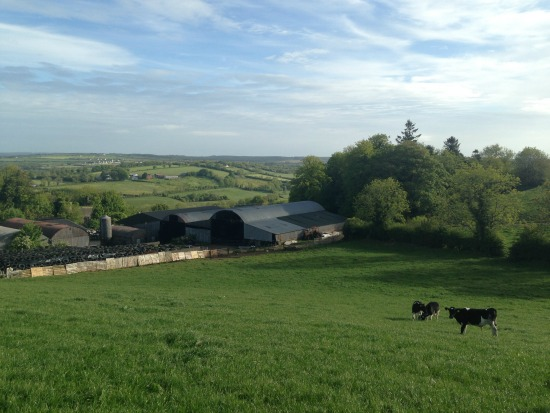 View from the top of the hill where the calves were