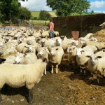 Interview with Leonie Vella, Irish Sheep Farmer