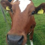 Rua, our Red Heifer with her cow's lick