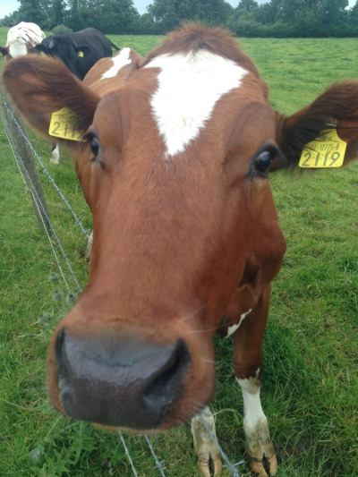 red cow lick
