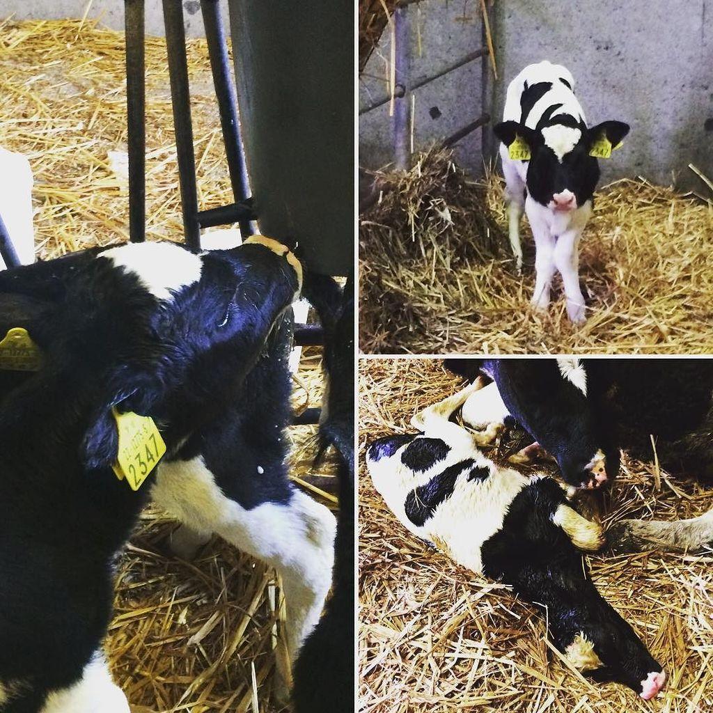 Gloria - a special calf