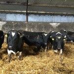 Yearling Pedigree Friesian Bulls for Sale