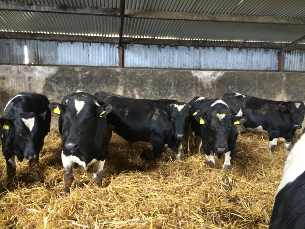 Yearling Pedigree Friesian Bulls for Sale