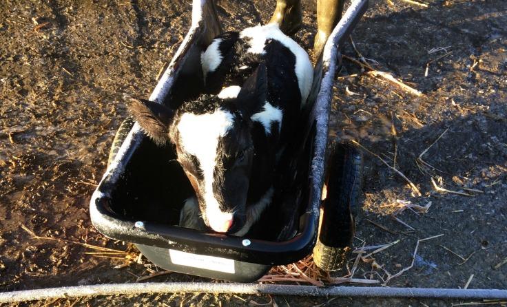 Calf in calf barrow