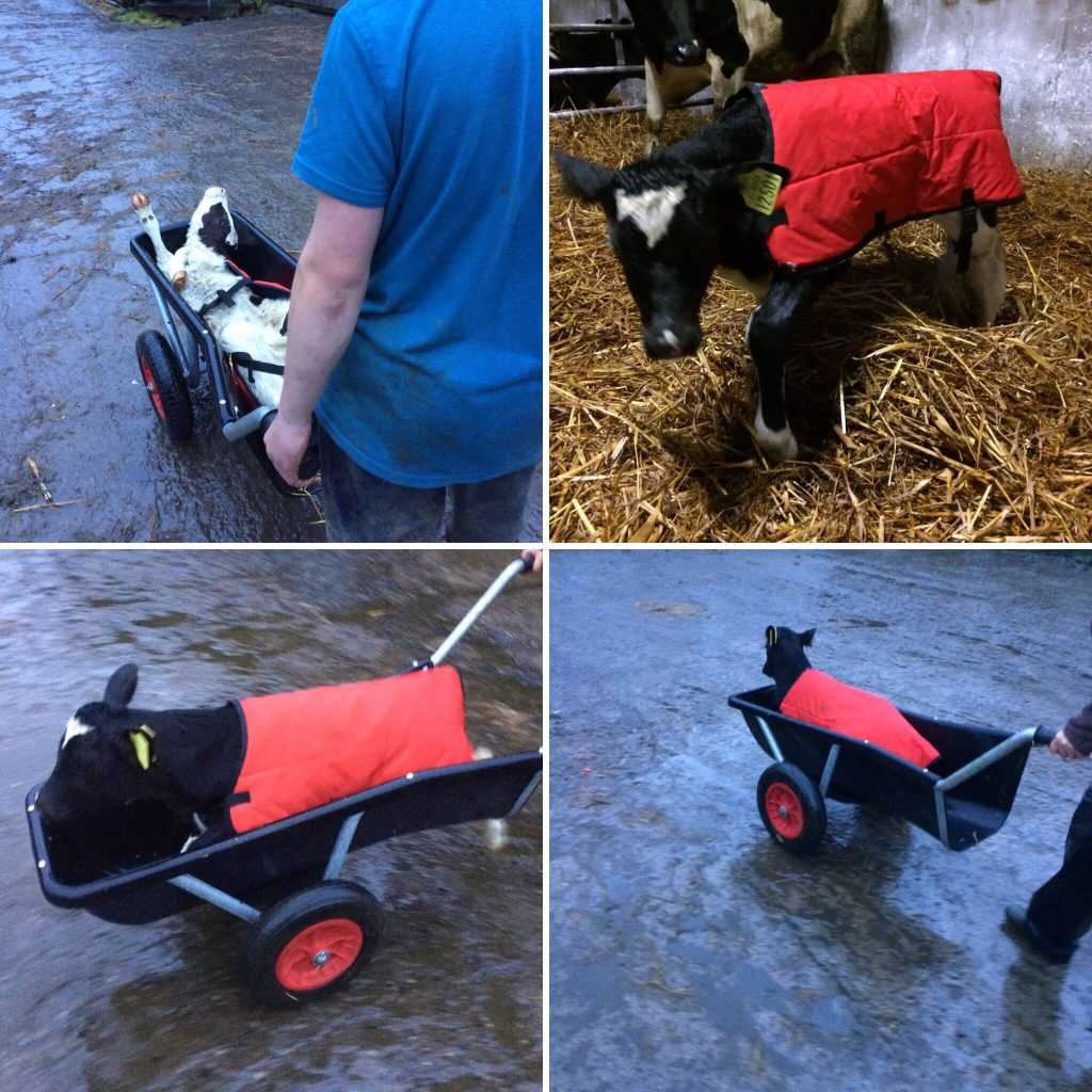 Going for a ride in a calf barrow in my new red coat