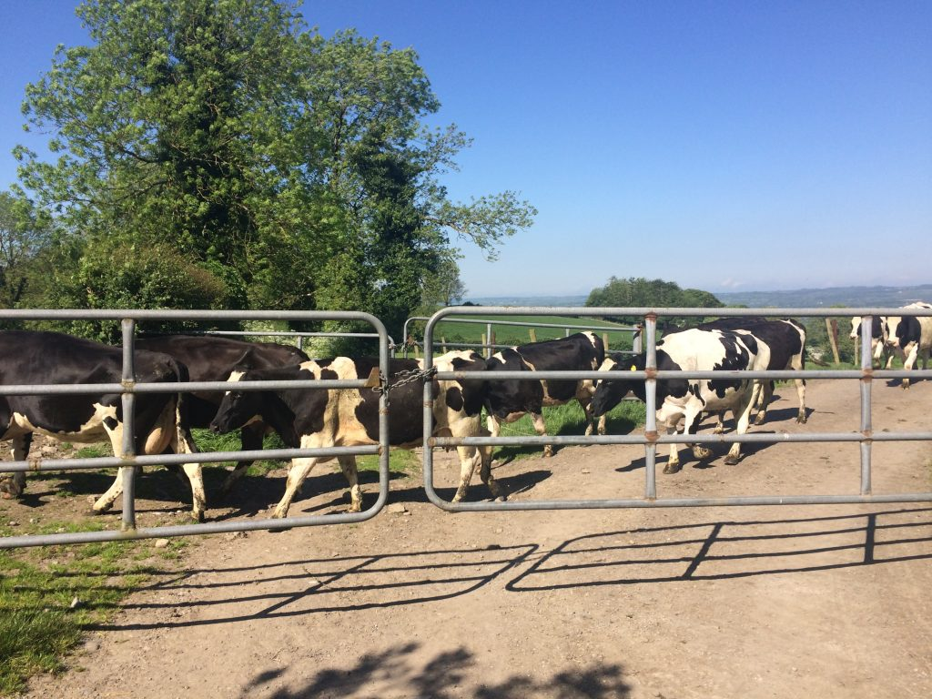 Cows going out