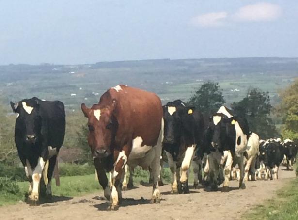Cows walking towards Burkes