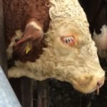 Red, the second Hereford bull