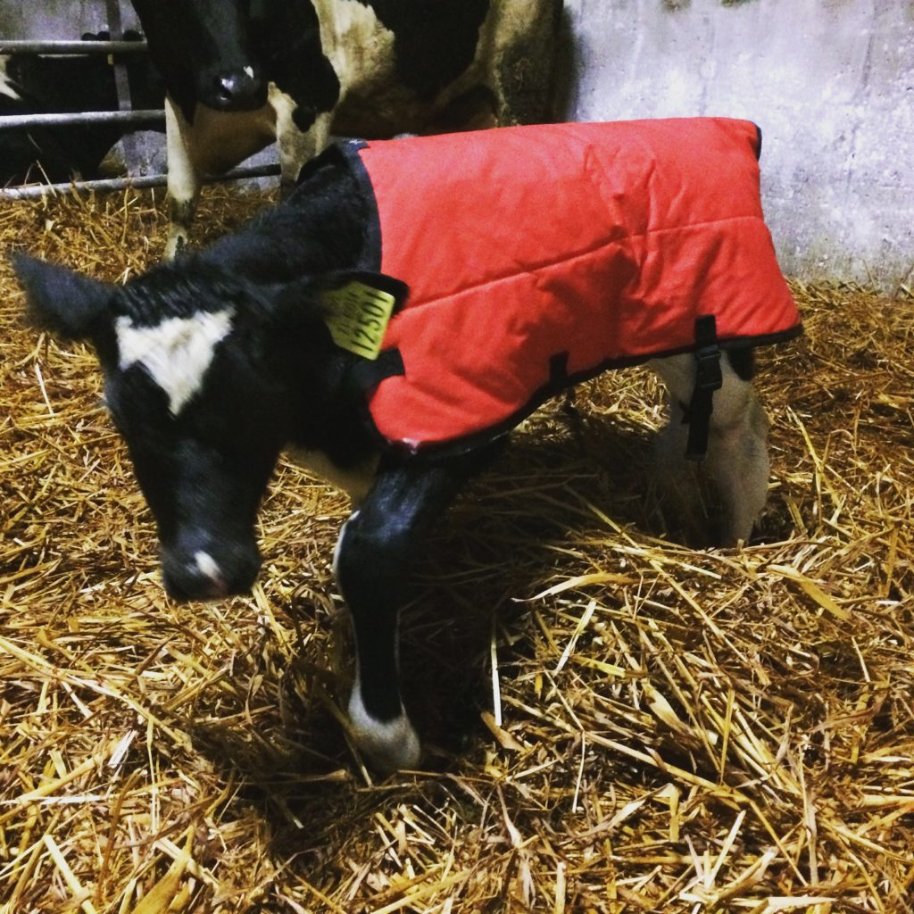 Review Of Calf Hutches Calf Jackets A Calf Barrow Lorna Sixsmith