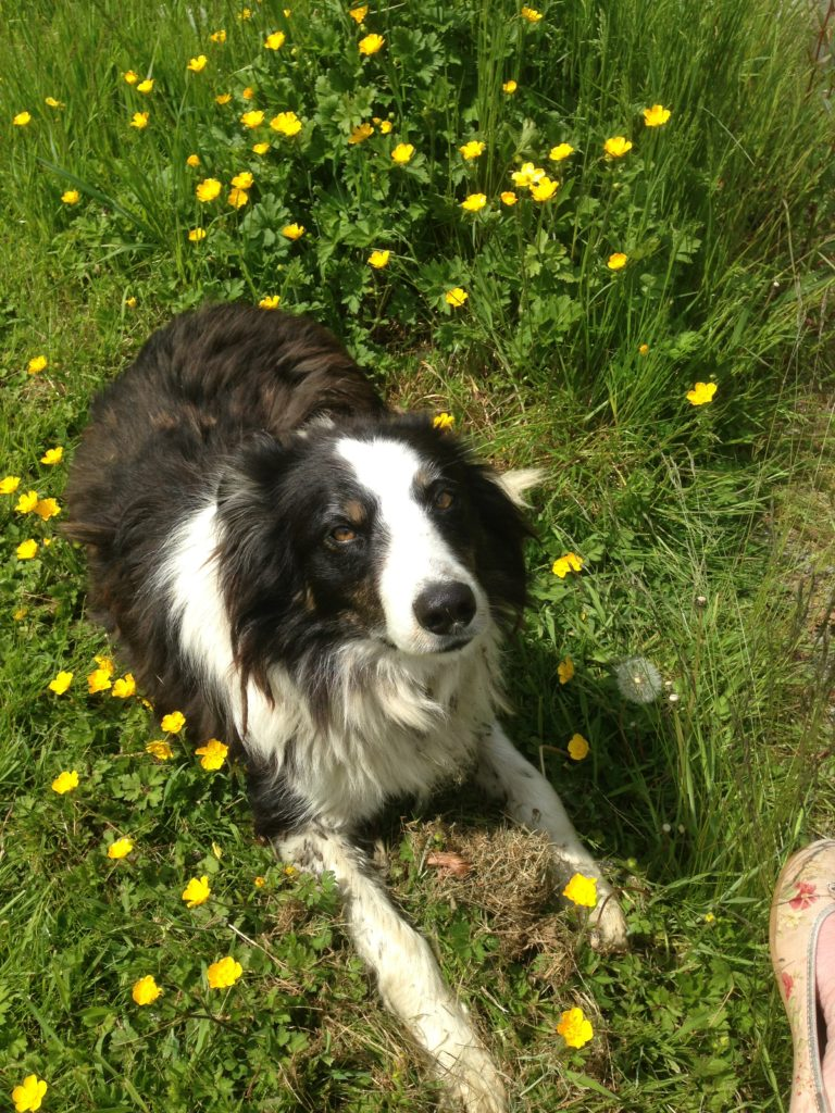 Collie dog in buttercups