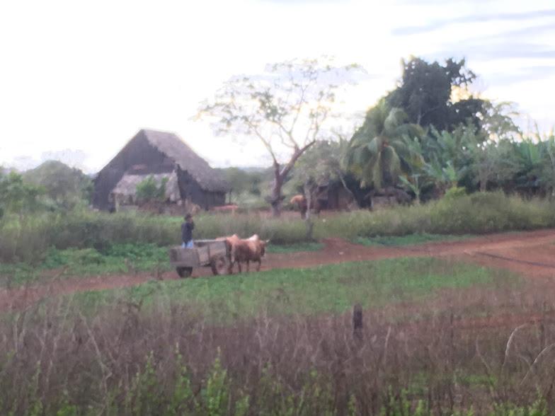 Oxen in Vinales