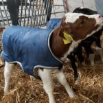 Cormac Tagging Calf Coat