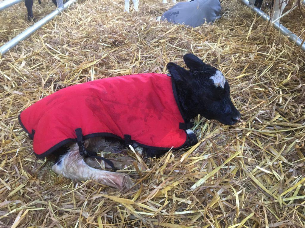 Red Cosy Calf Coat