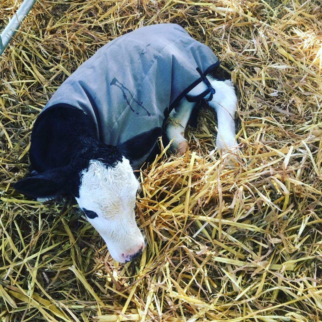 Grey calf coat