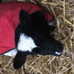 Calf in Red