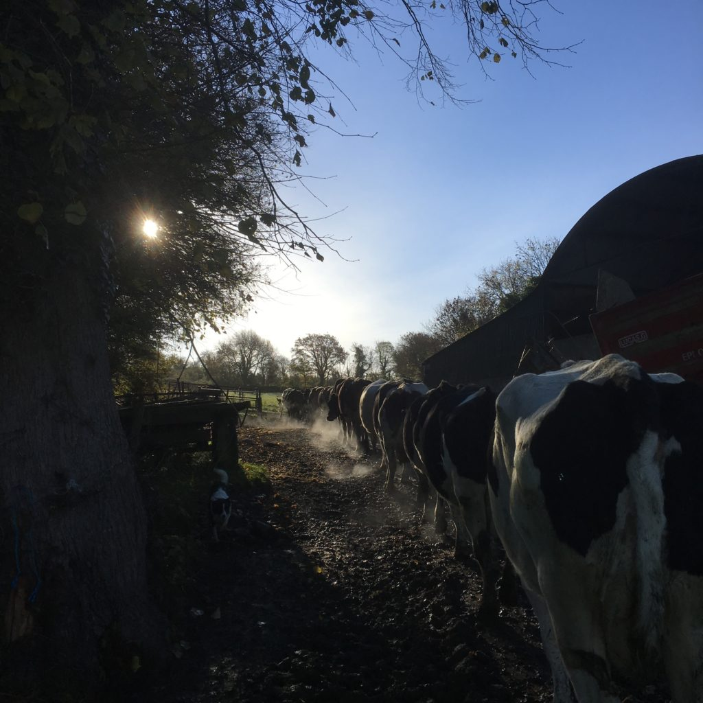 Cows going out to the field in early November 2018