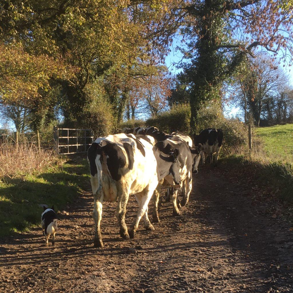 Cows ambling along an Irish country lane