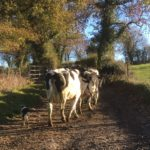 Cows ambling along an Irish country lane