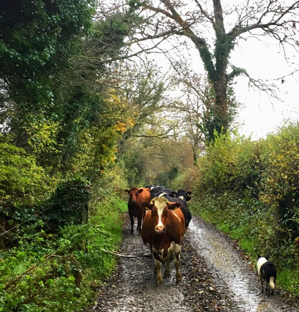 Grey skies but colourful cows and hedges make for a cheery morning